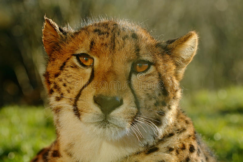 Cheetah, Acinonyx jubatus, detail sun portrait of wild cat, Fastest mammal on land, the cheetah can reach speeds of 60 or perhaps royalty free stock images