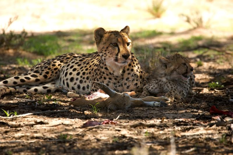 Cheetah Acinonyx jubatus family, mother with cute baby after hunt eating springbok in the shade under the tree royalty free stock image