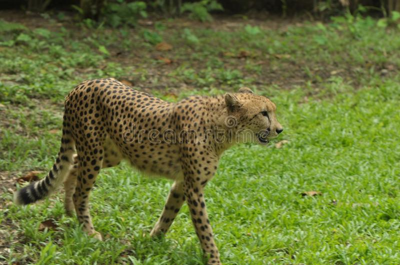Cheetah walking in Singapore Zoo. The cheetah Acinonyx jubatus is a large felid of the subfamily Feline that occurs mainly in eastern and southern Africa and a stock photography