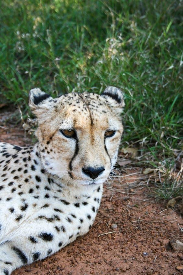 Cheetah, Acinonyx jubatus, portrait dans la réserve naturelle de Mokolodi, Gaborone, Botswana image libre de droits