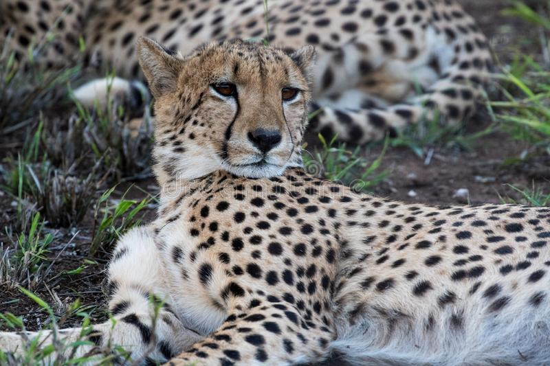 Cheetah resting in a nature reserve in South Africa. Cheetah Acinonyx jubatus resting in a nature reserve in Kwazulu-Natal, South Africa stock images