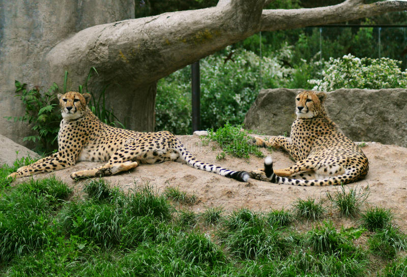 Cheetah (Acinonyx jubatus) stock images