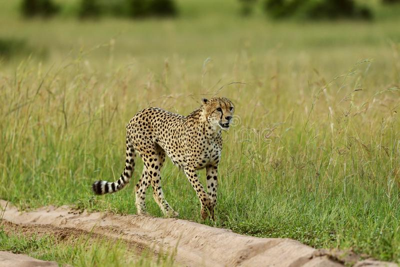 Cheetah, Acinonyx jubatus on a sandy road, Maasai Mara, Kenya, Africa royalty free stock photos