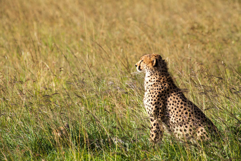 Download Cheetah in Africa stock photo. Image of cheetah, green - 25615346
