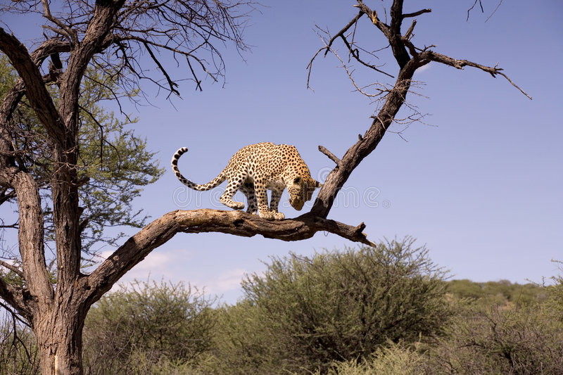 Cheetah in Africa stock photography