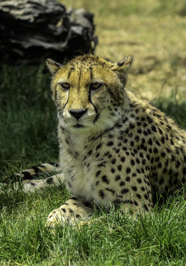 Cheetah. African carnivore cat close up royalty free stock images