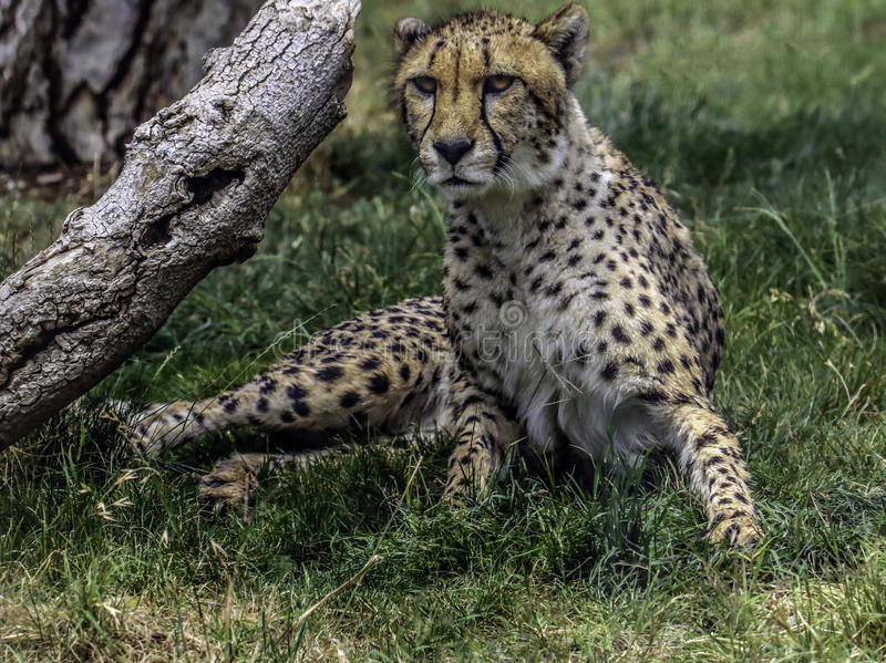 Cheetah. African carnivore cat sitting by log stock photography