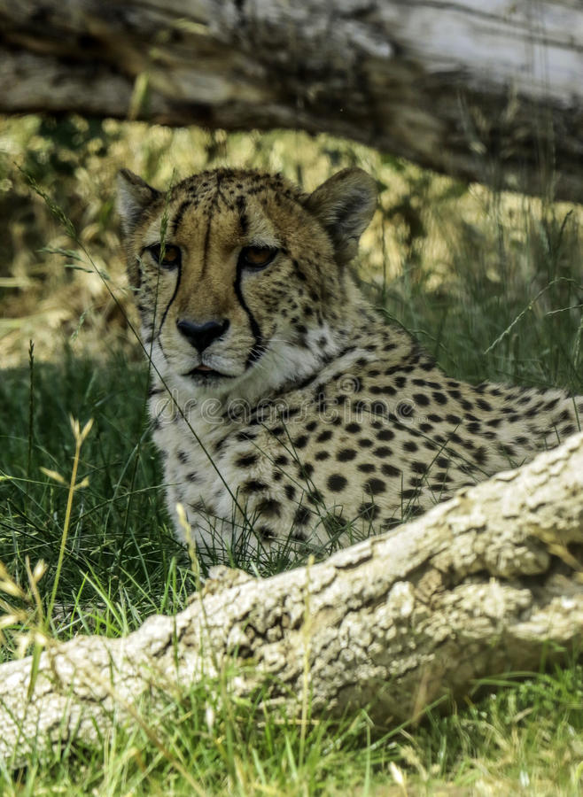 Cheetah. African carnivore laying under log stock photography