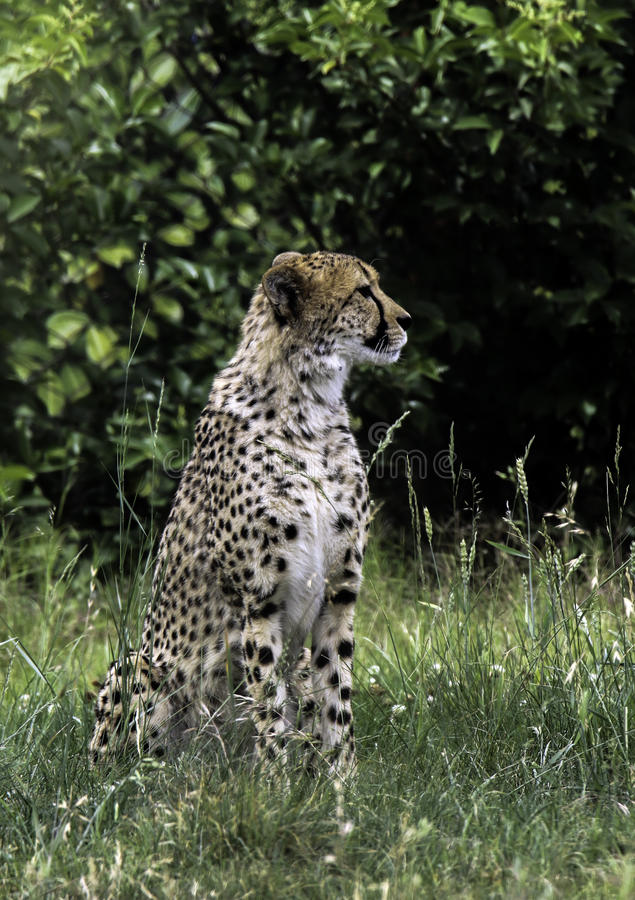 Cheetah. African carnivore sitting in tall grass royalty free stock photo