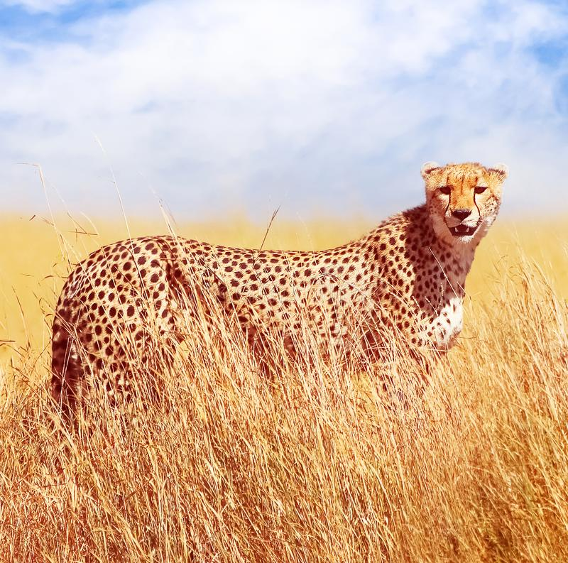 Cheetah in the African savannah. Africa, Tanzania, Serengeti National Park. Wild life of Africa. Square image.  stock photo