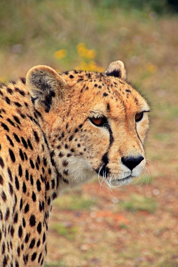 Cheetah Against Blurred Background royalty free stock photos