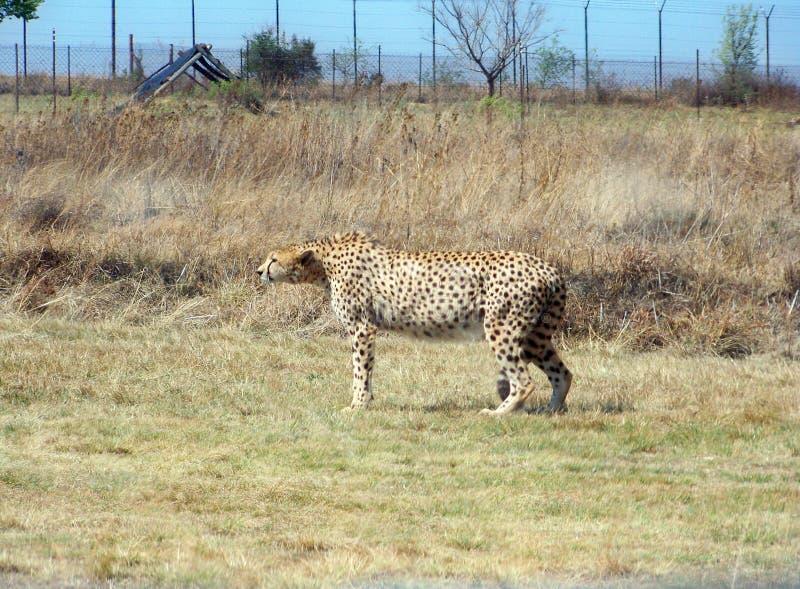 Cheetah on alert for danger at feeding time stock photo
