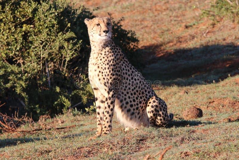 Cheetah auf Wache lizenzfreies stockbild
