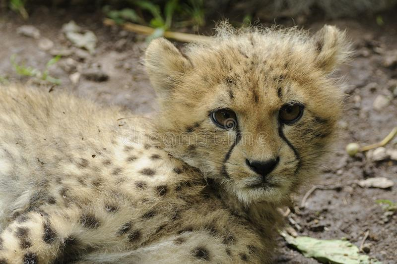 Cheetah Baby (Acinonyx jubatus) royalty free stock image
