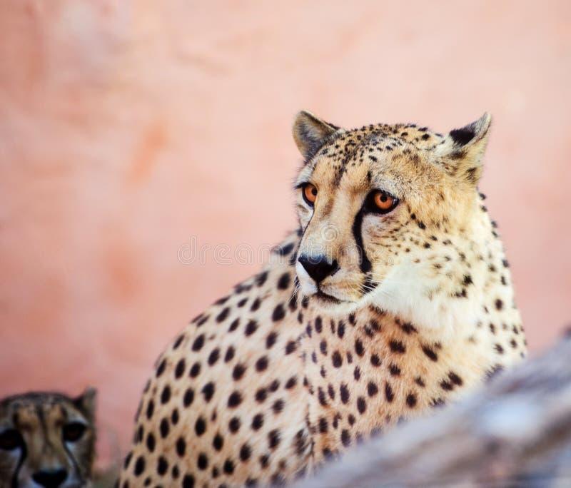 cheetah, beautiful portrait royalty free stock image