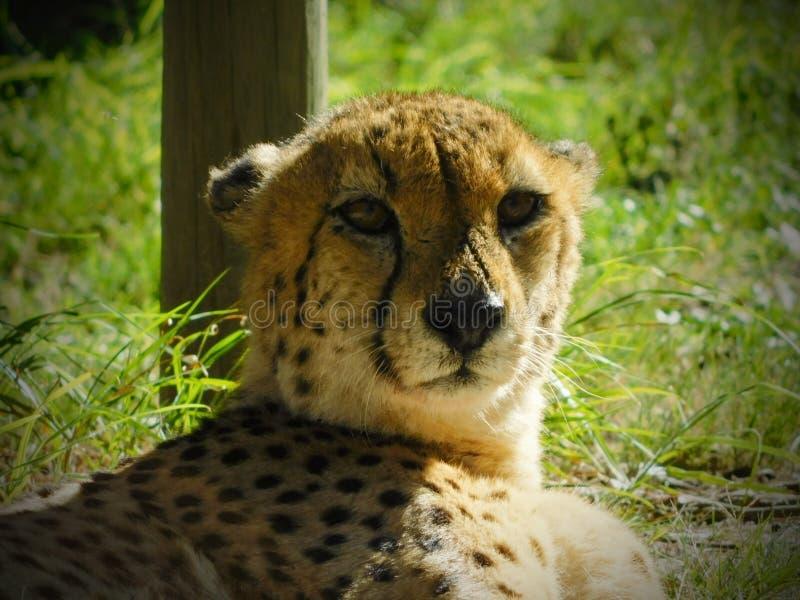 Cheetah beobachten stockfotos