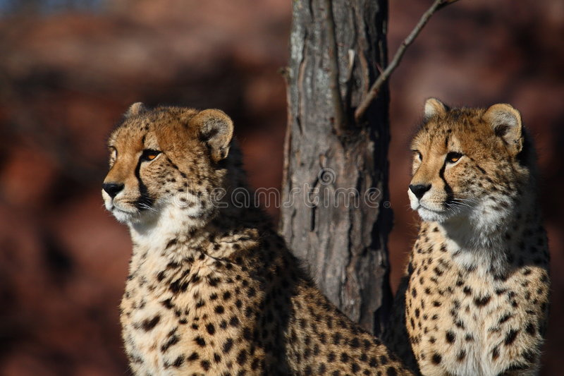 Cheetah brother royalty free stock photo