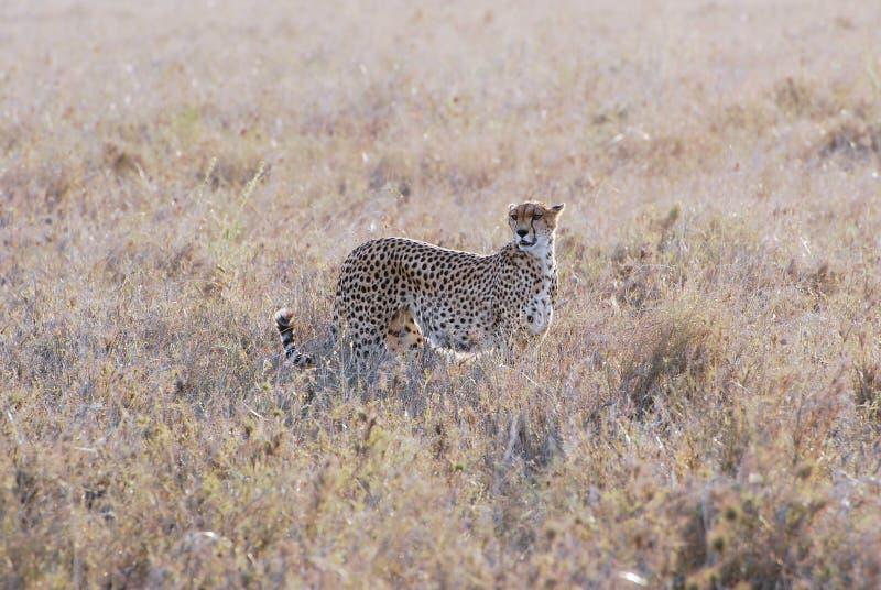 Cheetah camouflaged in dry grass - Serengeti National Park, Northern Tanzania, Africa. Cheetah a big wild cat camouflaged in dry grass - looking for wild animals royalty free stock photos