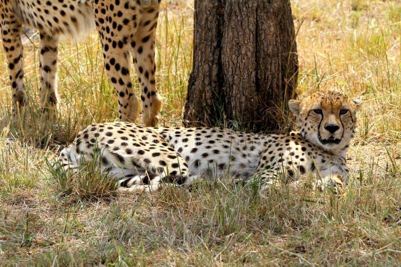 Download Cheetah stock image. Image of nature, tanzania, prey - 32987831