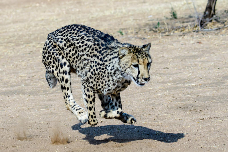 Cheetah chasing its silhouette. Cheetah running after its shadow stock photos
