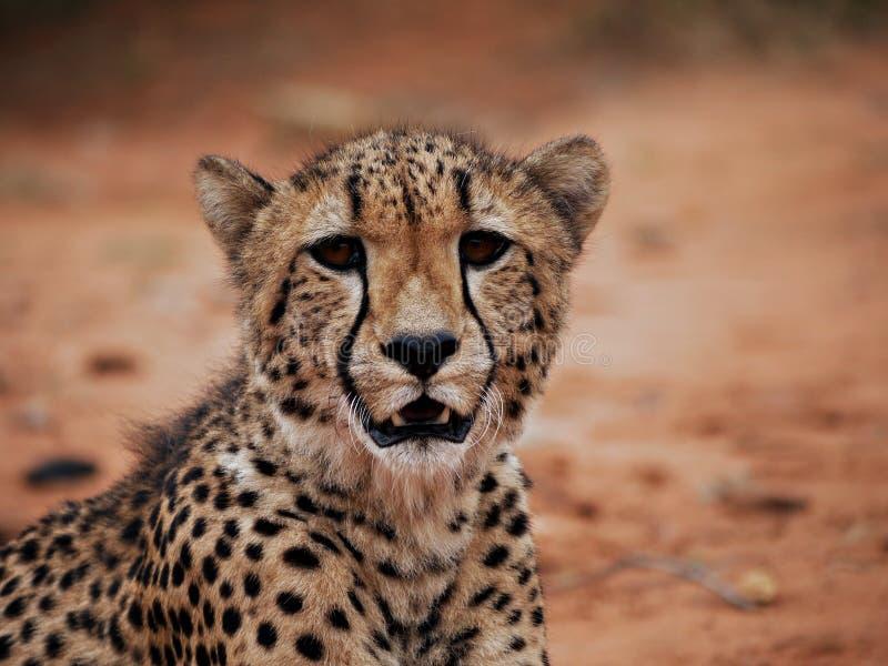 Download Cheetah close-up stock photo. Image of safari, predator - 17195614