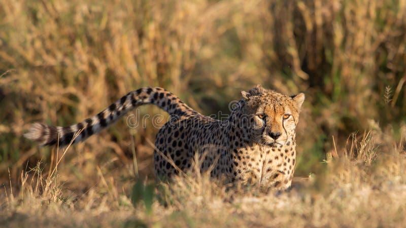 Cheetah close-up (Acinonyx jubatus), Masai Mara Reserve, Kenya. Cheetah staring at camera (Acinonyx jubatus), Masai Mara Reserve, Kenya royalty free stock image