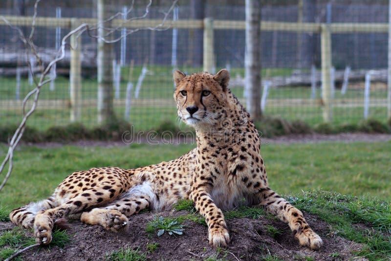 cheetah 5 stock image image of cute cheetahs species 58655305