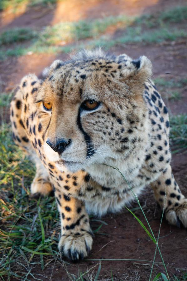 Cheetah crouching on the ground. A cheetah in a nature reserve in South Africa crouching on the ground royalty free stock image