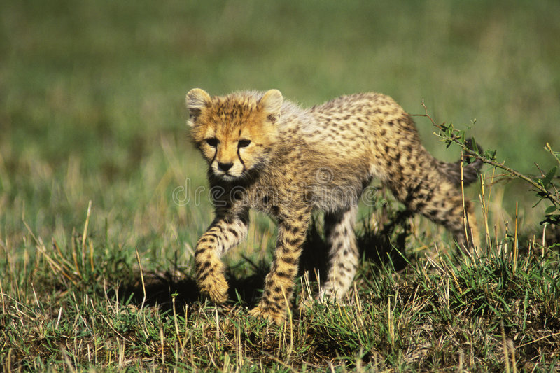 Cheetah Cub. (Acinonyx jubatus) in the Masia Mara Game Reserve, Kenya, Africa stock photos
