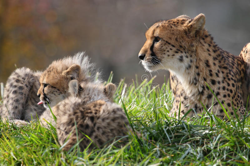 Cheetah and cub. The cheetah mother is teaching its cub how to hunt stock photo