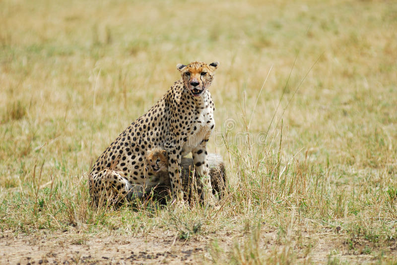 Download Cheetah with cub stock photo. Image of young, eastern - 16210728
