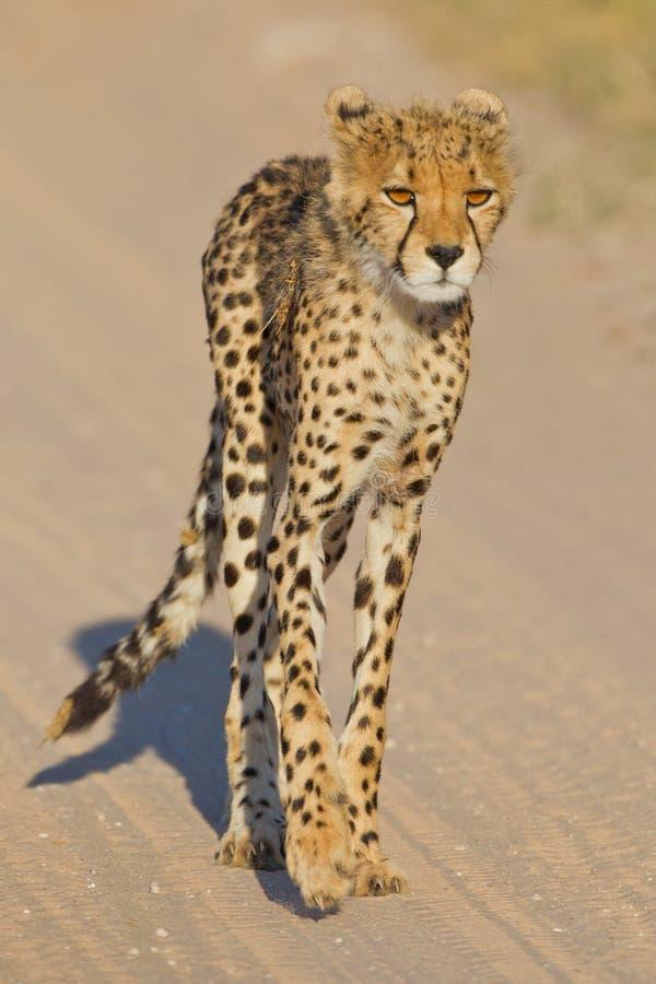 Download Cheetah cub stock image. Image of cheetahs, jubatus, hunter - 22635265