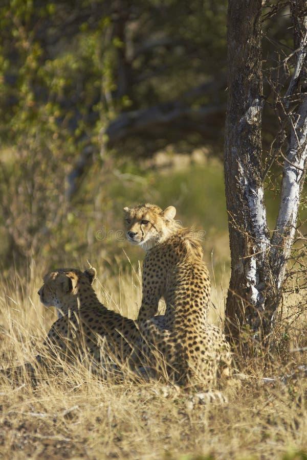 Download Cheetah and cub stock image. Image of head, acinonyx - 23170293