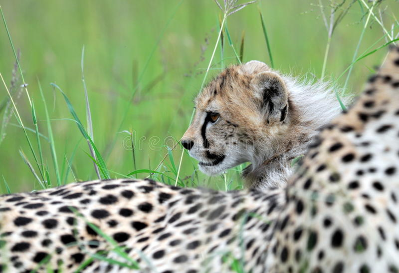 Download Cheetah With Cub Royalty Free Stock Photo - Image: 27232635