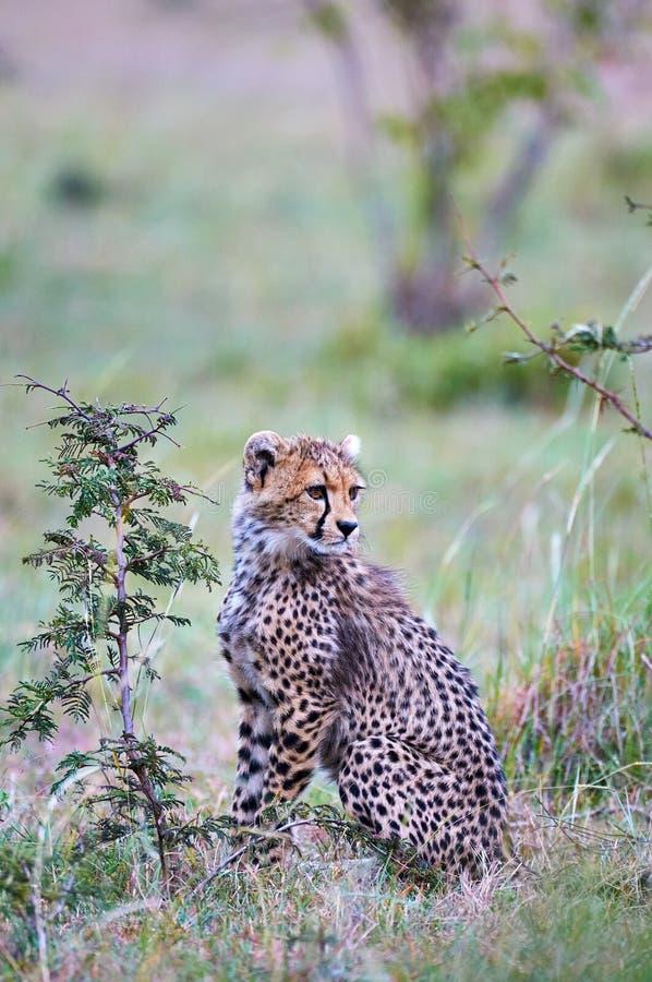 Cheetah cub Acininyx jubatus in his natural environment royalty free stock image
