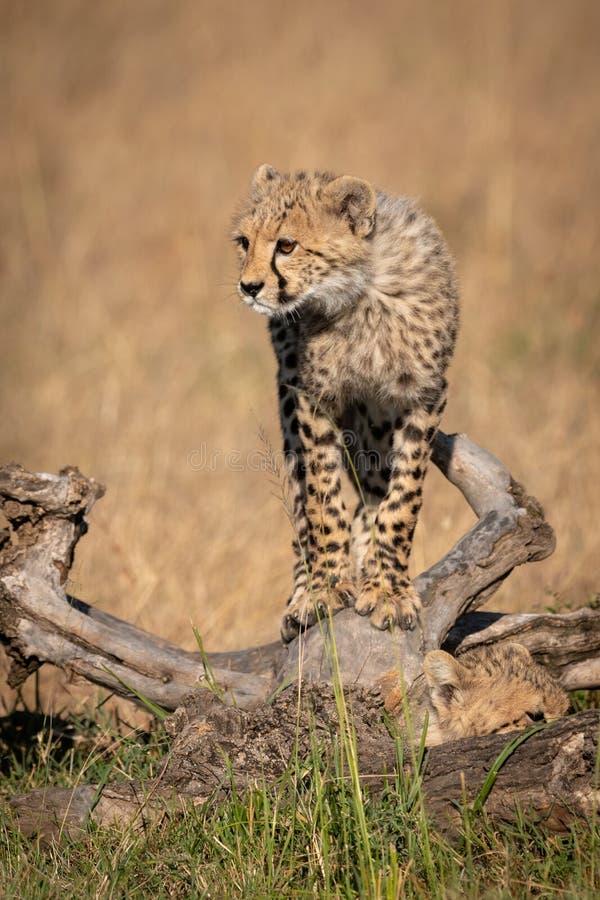 Cheetah cub balances on log in grass stock photos