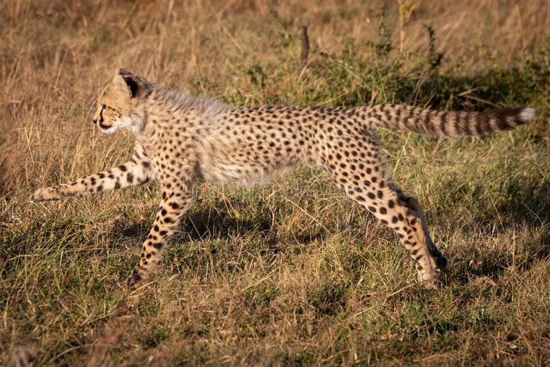 Cheetah cub jumping with legs stretched out royalty free stock image