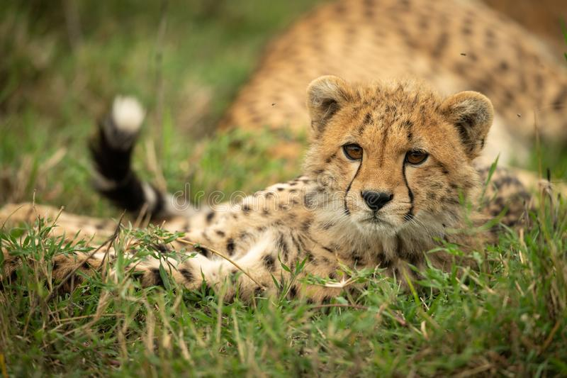 Cheetah cub lies in grass with catchlight royalty free stock photography