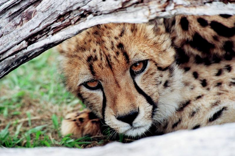 Cheetah cub looking under tree trunk stock photos