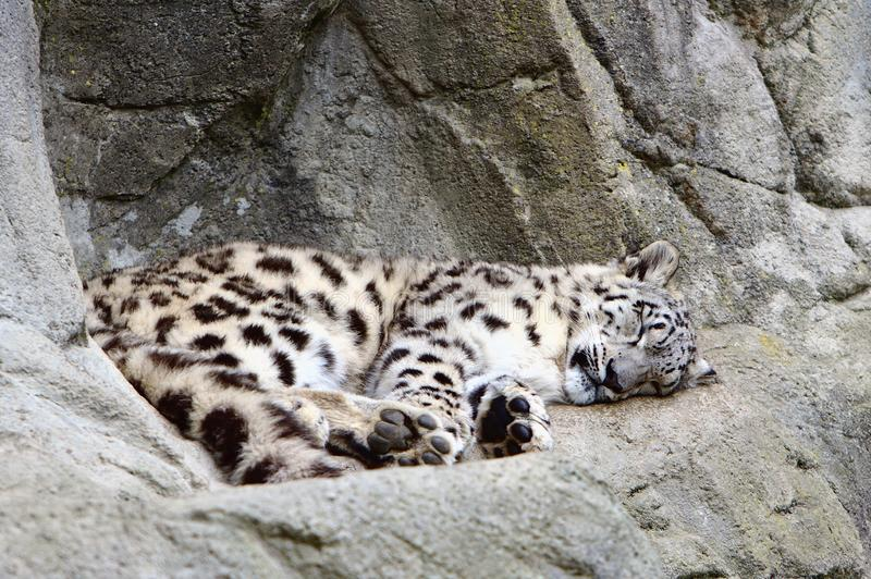 Snow Leopard Cub royalty free stock photo