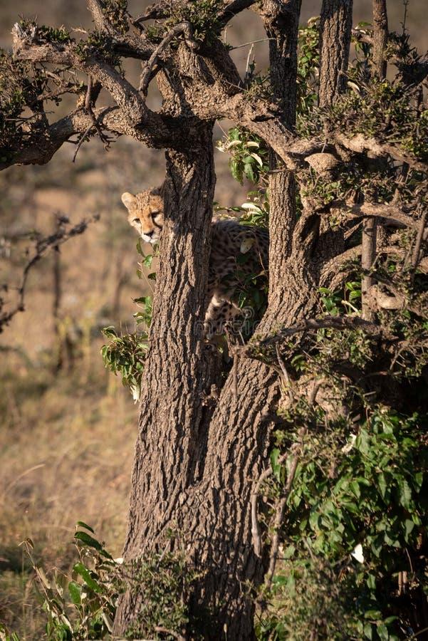 Cheetah cub peeping out from behind tree royalty free stock photos