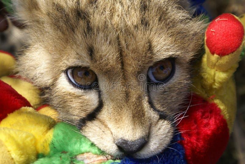 Cheetah cub at play stock images