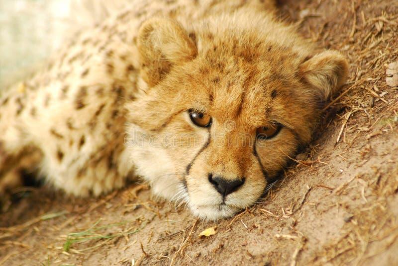 Download Cheetah Cub Portrait Stock Photography - Image: 7609282