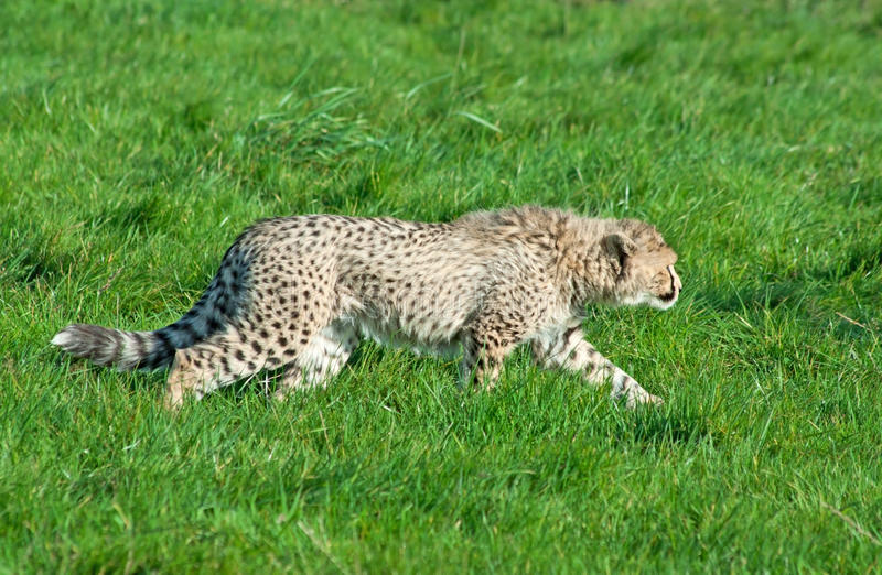 Download Cheetah cub prowls stock image. Image of nose, tail, feline - 19281539