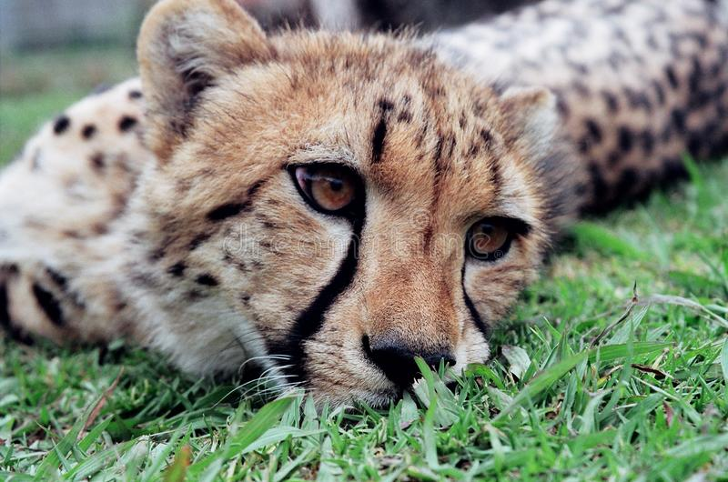 Cheetah cub resting in the green grass royalty free stock photography