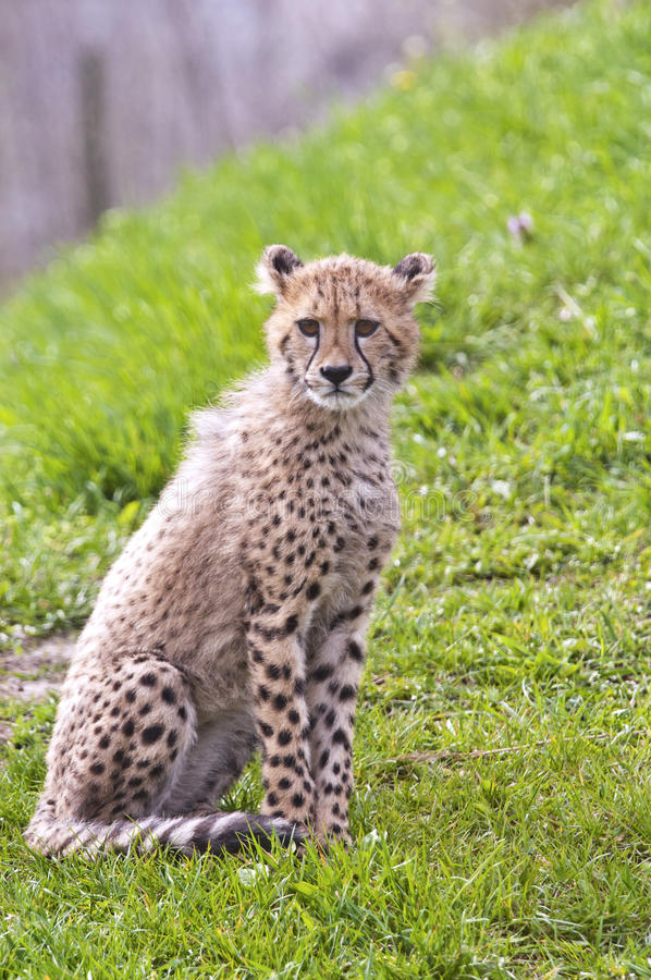 Cheetah cub. A shot of a cheetah cub (young cheetah royalty free stock photo