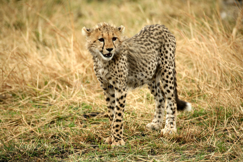 Cheetah cub standing watchful in the grass. After a kill in the Masai Mara Reserve in Kenya royalty free stock images