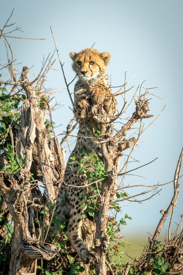 Cheetah cub stands in bush with catchlight stock images
