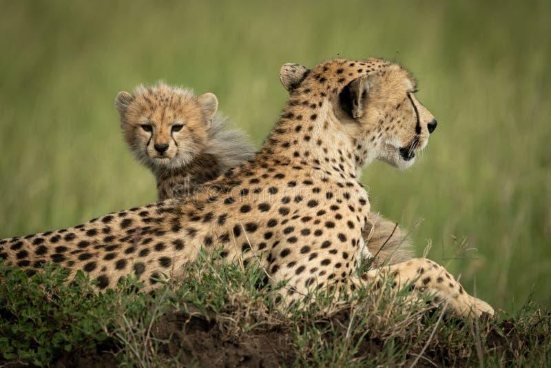 Cheetah Cuba sitzt auf dem Hügel hinter der Mutter stockbild