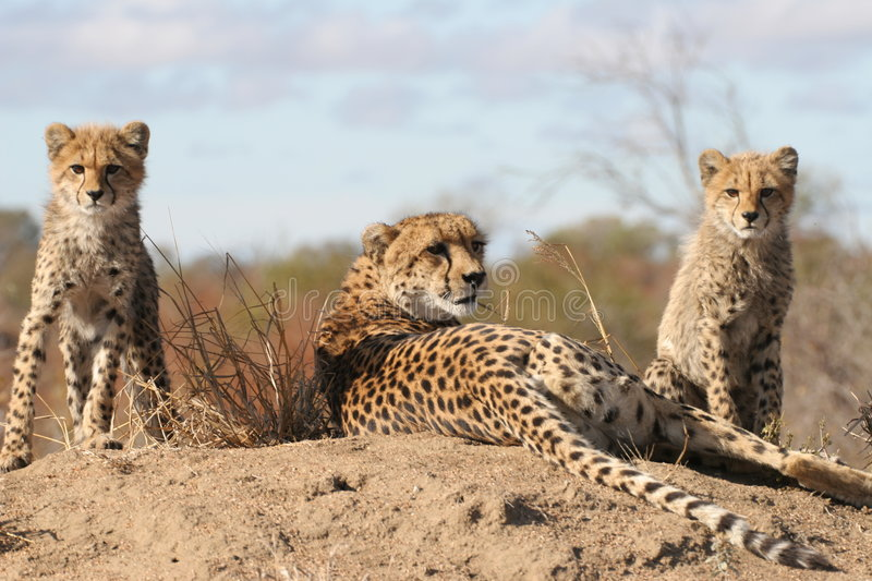 Cheetah with cubs royalty free stock photo